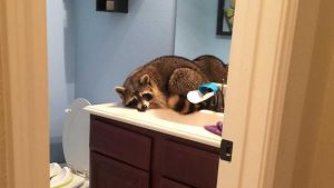 Houston Raccoon Removal